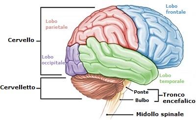 anatomia-del-cervello